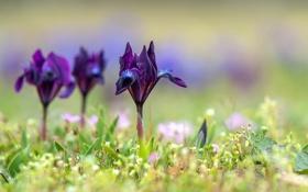 Обои трава, цветы, фиолетовые, ирисы, боке