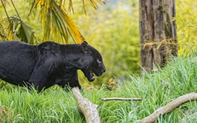 Обои чёрный, трава, ©Tambako The Jaguar, ягуар, кошка