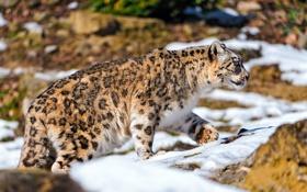 Обои охота, снег, ирбис, Снежный барс, идёт, камни