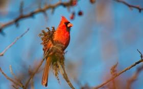 Картинка небо, птица, ветка, перья, кардинал