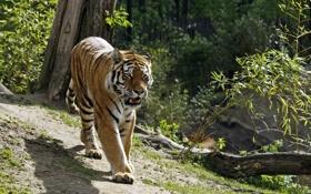 Картинка кошка, солнце, тигр, тень, ветка, прогулка, бревно