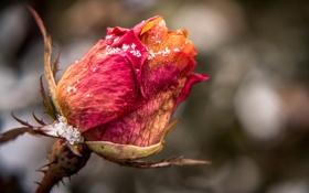 Обои осень, цветок, роза, бутон, кристаллы