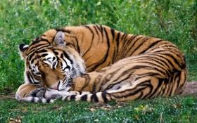 Обои тигр, спит, лежит, свернулся калачиком
