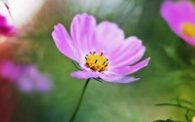 Обои осень, макро, закат, розовые цветы