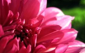 Обои розовый, цветок, георгина, лепестки, макро
