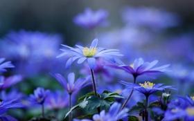 Картинка цветы, лепестки, размытость, стебель, синие