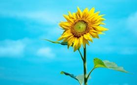 Обои лето, небо, желтый, подсолнух