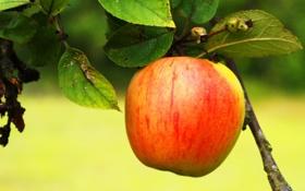 Обои сад, яблоко, лето