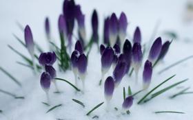 Картинка снег, цветы, весна, фиолетовые, крокусы