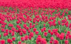 Обои море, поле, цветы, тюлпаны