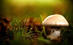 Картинка гриб, трава, природа, боке, макро, размытость