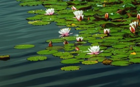 Обои вода, пруд, кувшинки, нимфеи, водяные лилии