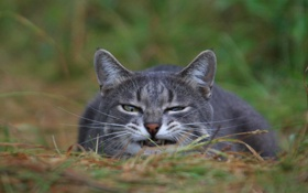 Обои трава, мордашка, Кошка