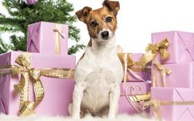 Картинка собака, подарки, Новый год, коробки, Джек Рассел Терьер