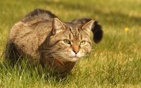 Обои трава, кот, взгляд, ошейник, сидит, смотрит