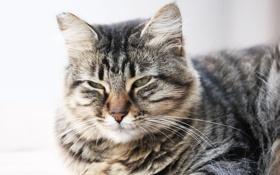 Картинка кот, серый, мордочка, лежит