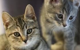 Обои животные, ушки, котята, взгляд, усы