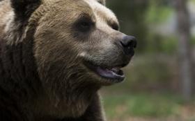 Картинка морда, медведь, бурый