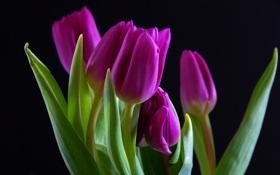 Обои тюльпаны, лепестки, цветы