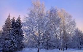 Обои деревья. природа, фото, зима, береза, снег, ель