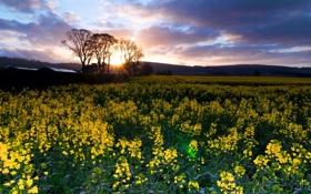 Картинка поле, пейзаж, природа, рапс