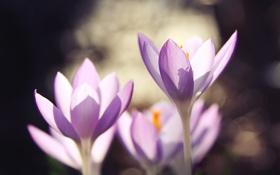 Картинка макро, цветы, весна, лепестки, размытость, крокусы, сиреневые
