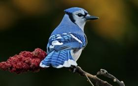 Картинка птица, голубое, ветка, размытость, оперение