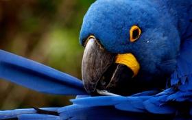 Обои попугай, перья, blue feathers, чистит
