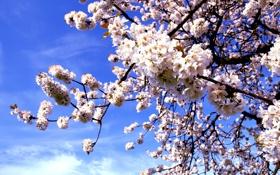 Картинка макро, цветы, природа, вишня, дерево, ветка, весна