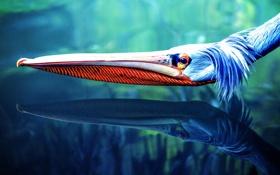 Обои голова, pelicano, пелекан