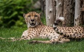 Обои дикая кошка, гепард, клыки, отдых, хищник, лежит