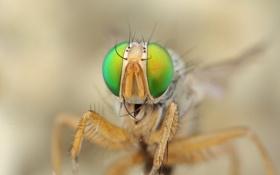 Картинка глаза, муха, голова, насекомое