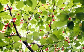 Картинка nature, leaves, green, trees, branches, berries