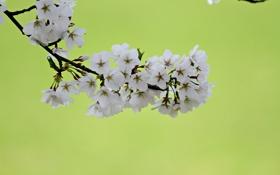 Обои цветы, вишня, фон, ветка