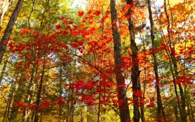 Картинка осень, лес, листья, деревья, Канада, Онтарио, багрянец