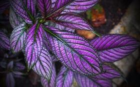 Обои листья, Колеус Блюме, растение, краски, макро