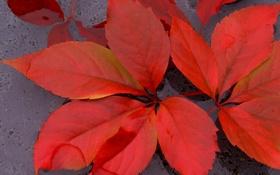 Обои листья, осень, вода, багрянец
