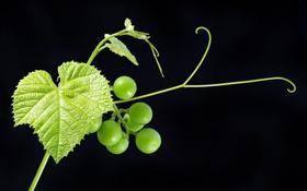 Обои листья, зеленый, ягоды, фрукт, виноград, черный фон