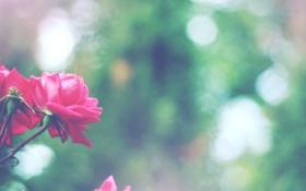 Картинка цветы, розы, лепестки, боке