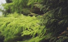 Картинка ветки, елка, зеленая