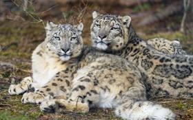 Обои взгляд, кошки, отдых, пара, ирбис, снежный барс, ©Tambako The Jaguar