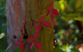 Обои осень, листья, растение, столб, плющ