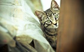 Обои кот, усы, котенок, шерсть, смотрит