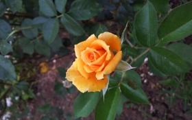 Обои листья, роза, куст, лепестки