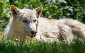 Картинка белый, трава, взгляд, морда, волк, хищник
