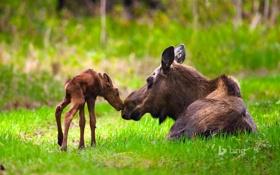 Обои США, Anchorage, трава, лес, Kincaid Park, лосенок, Moose