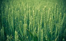 Обои трава, макро, колосья