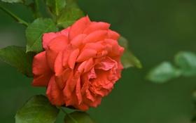 Обои цветок, листья, макро, природа, зеленый, роза, цвет