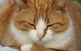 Обои кот, рыжий, белый, спит, cat, кошка