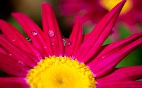 Обои цветочек, wallpaper, роса, лепестки, розовый, widescreen, цветочки